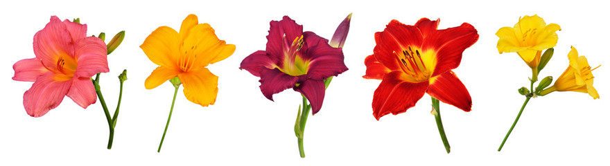 Five different Daylily (Hemerocallis) flowers, isolated on pure white background