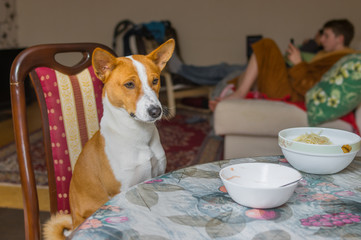 Cute Basenji is patiently waiting for the master-waiter would place true canine food on the table