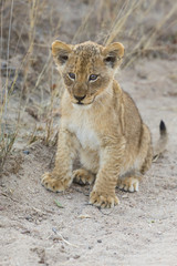Small lion cub walking along dirt road with grass