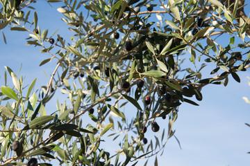 Olives_01