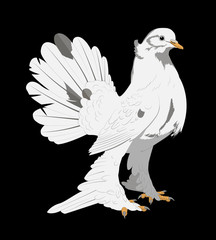 Vector illustration on a black background beautiful white dove feathered feet long, beautiful tail and a small crest on the head
