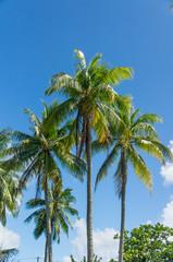 Beuatiful palms from Rangiroa atoll, French Polynesia