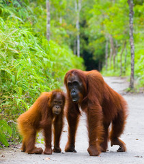 The female of the orangutan with a baby on a footpath. Funny pose. Rare picture. Indonesia. The island of Kalimantan (Borneo). An excellent illustration.