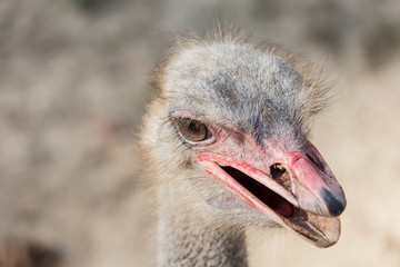 Portrait of an ostrich head