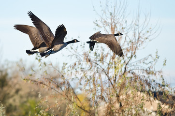 Three Canada Geese Flying Low Over the Autumn Pond