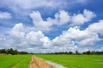 beautiful green rice field in vibrant meadow under white cloud on blue sky