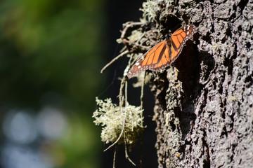 La mariposa Monarca se sujeta de la corteza del pino.