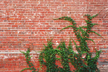 ivy plant on brick wall