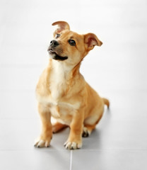 Small cute funny dog sitting on floor at studio or home
