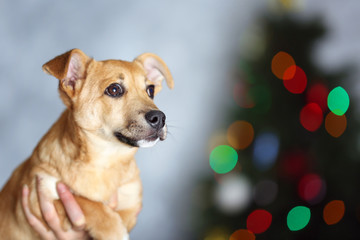 Small cute funny dog holding in hands on Christmas tree background