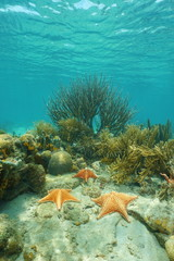 Sea stars underwater on coral reef Caribbean sea