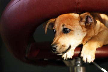 Small funny cute dog sitting on bar stool, close-up