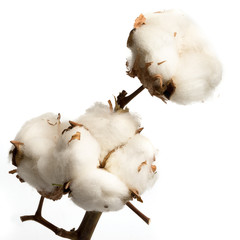 Natural stem of cotton flowers producing raw cotton for textile industry