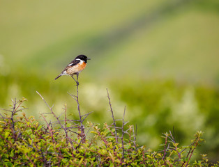 Male stonechat in front of a green background