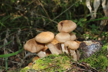 Mushrooms on a stump in a pine forest