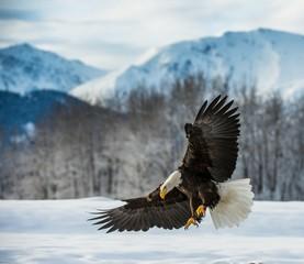 Bald Eagle (Haliaeetus leucocephalus) landde op sneeuw