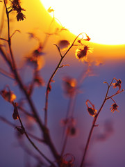 Winter Plant Silhouette at sunset