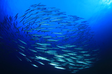 Barracuda fish shoal in blue ocean