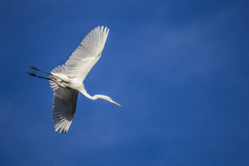 White egret flying across a clear blue sky; big bird, crane, wader