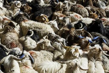 Herd of Passim Goats, Ladakh, Jammu and Kashmir, India