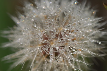 Canvas Prints Dandelions and water Micro shot of the Flowers