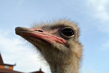 Голова страуса на фоне синего неба