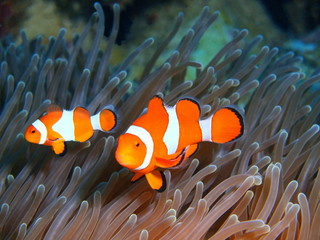 Fish-clown, Island Bali