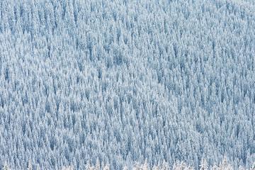 Pine winter forest texture