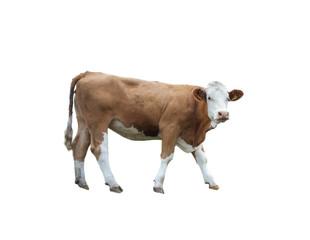 Freigestellte Kuh