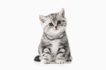 Cat. Small silver british kitten on white background