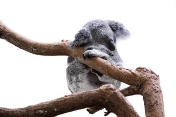 Fototapeta premium Cute sleeping koala isolated on white