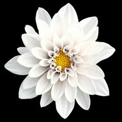 Poster Dahlia Tender white flower dahlia macro isolated on black