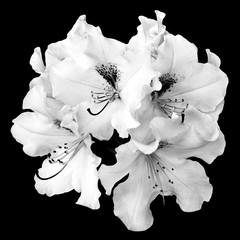 Bush of tender white pelargonium flowers isolated on black