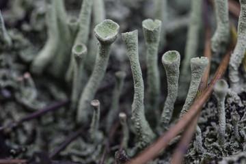 lichen closeup macro cladonia