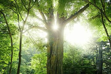 大きな木と太陽の光