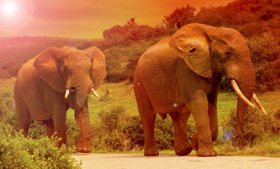 Two elephants walking on the road in a safari park in South Africa.