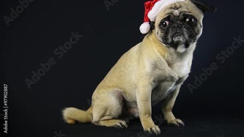 Mops Bilder Weihnachten.Weihnachten Mops Schwarzer Hintergrund Stockmaterial Und