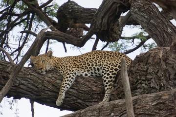 entspannte Leopardin