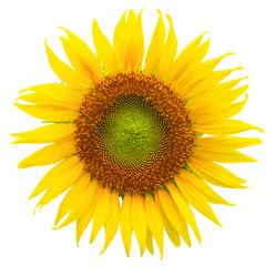vibrant sunflower isolated on white