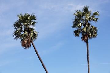 sugar palm tree with blue sky