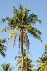 coconut trees in the blue sky