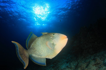 Yellowmargin Triggerfish: fish coral reef underwater sea ocean