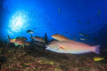 Swarm predator fish school hunting: Tuna, Trevallies, Jacks, Rainbow Runners, Emperors, Snappers and Wrasse