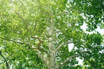新緑 エコロジー プラタナスの木