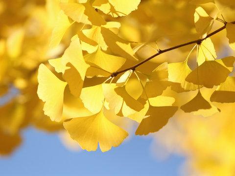 イチョウ 黄葉