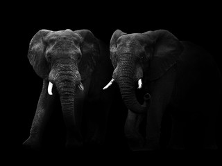 Abstract black and white image of two African elephant bulls.