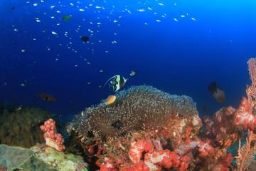 Clownfish anemonefish nemo fish anemone coral reef