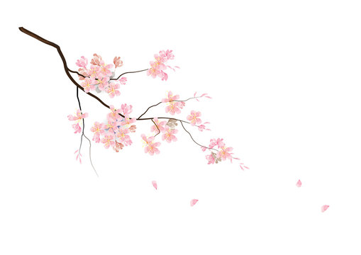Cherry blossom flowers with branch  on white background,vector illustration