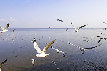 Migratory seagulls flock to the Bang Pu Seaside, Thailand during November and April.