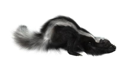 Striped Skunk on White
